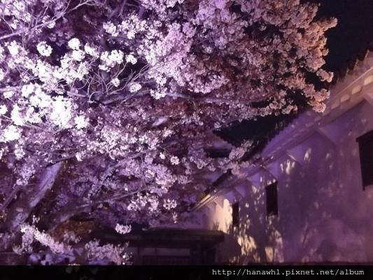 姬路城夜櫻-10.jpg