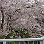 京都櫻花2011