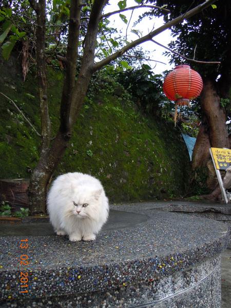 DSCN0449-白貓出沒.jpg