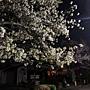 2011Kyoto Sakura 005.JPG
