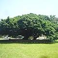泰安國小著名的情人樹