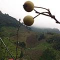 這就是還沒長大的小梨子