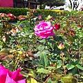 美麗的玫瑰在陽光下格外耀眼