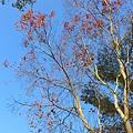 天很藍  不知名的樹也跟著美了起來