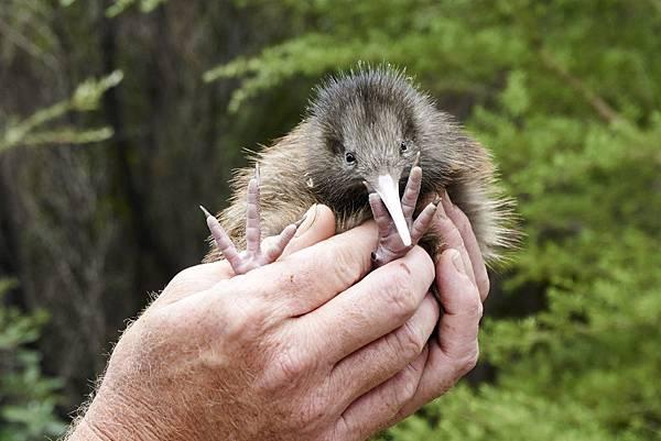 紐西蘭_奇異鳥_shutterstock_374485312.jpg