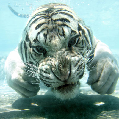 tiger-swimming
