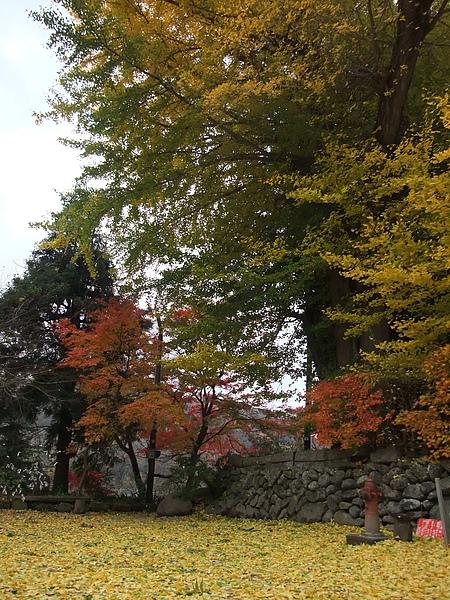 仙台,秋之銀杏