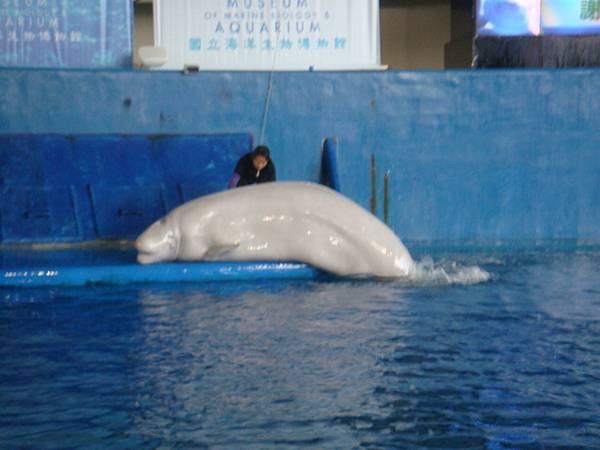 可愛的小白鯨