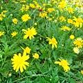 美麗的小黃花