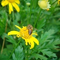 順便拍到蜜蜂採蜜