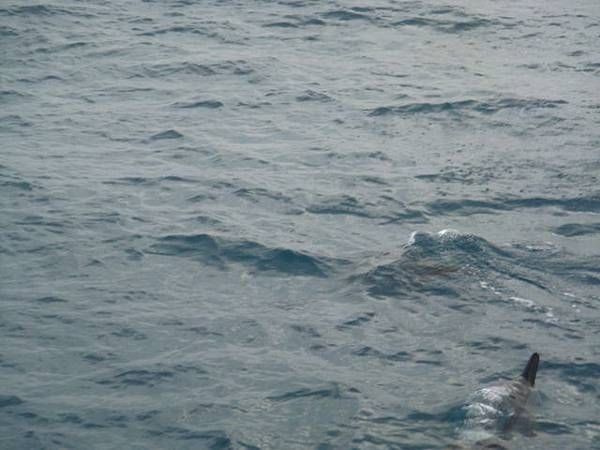 ㄧ群海豚在船邊游來游去!!