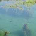 湖水清澈見魚兒