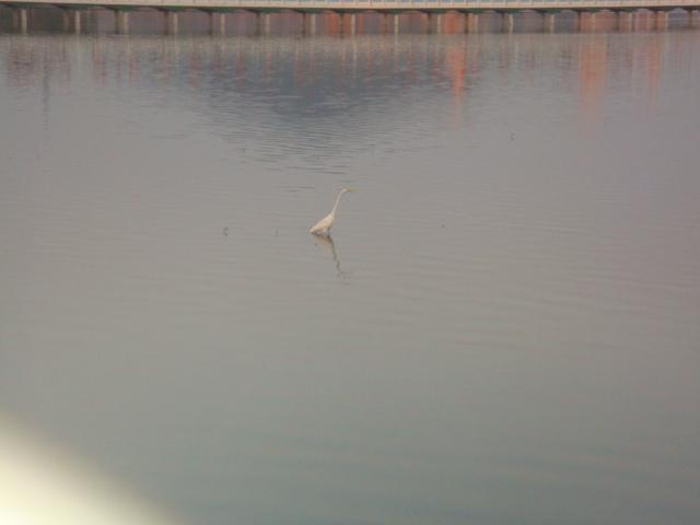 潭中還有白鷺鷥