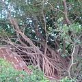 密密麻麻的榕樹
