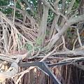 看看這榕樹的根!!