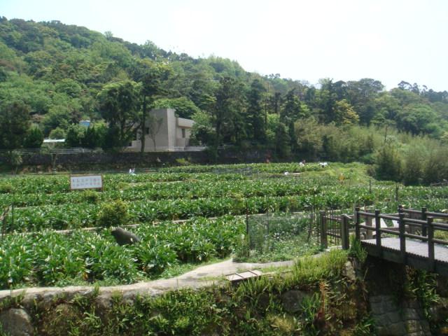 [竹子湖]--海芋田