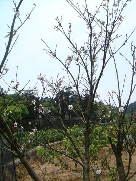 [竹子湖]--唯一一株還沒凋謝的櫻花!!