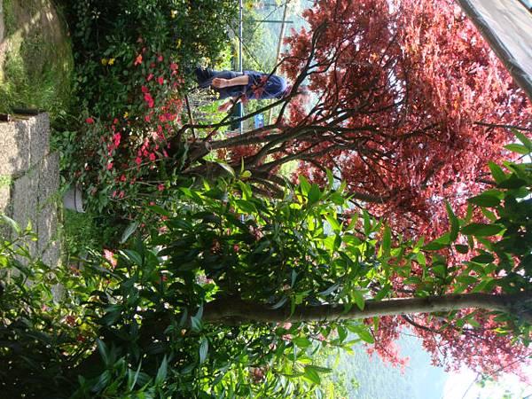 [竹子湖]--戶外的座位,身旁有很多紅槭樹