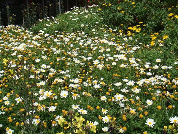 [竹子湖]--這片是瑪格莉特花園