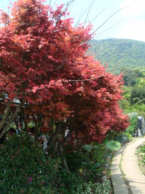 [竹子湖]--紅槭樹,不是楓葉!!