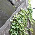 [金瓜石]--我愛這藤蔓攀附的景