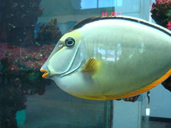 這隻魚長得很卡通,嘴尖閉不起來
