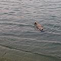 『日月潭的伊達邵碼頭』--遇到游泳的狗狗