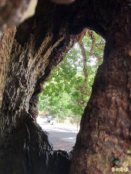遊客從茄苳樹神木的兩處樹洞望去,竟神奇呈現一幅台灣地圖。(記者佟振國攝).jpg