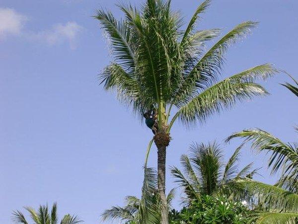 爬樹的傢伙,或許是要去摘椰子吧
