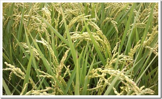 rice_35