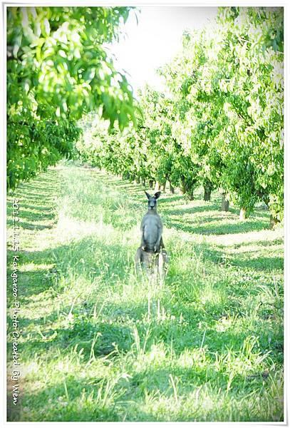 2012.11.13 Kangaroo