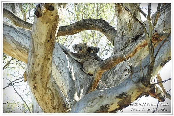 2012.11.19 Cobram Koala (5)