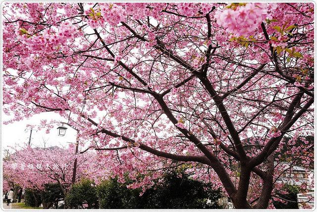 2016.02.22 帶著媽媽去旅行-河津櫻