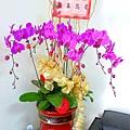 P1010421 紫色蝴蝶蘭