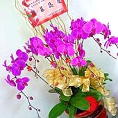 P1010422 紫色蝴蝶蘭