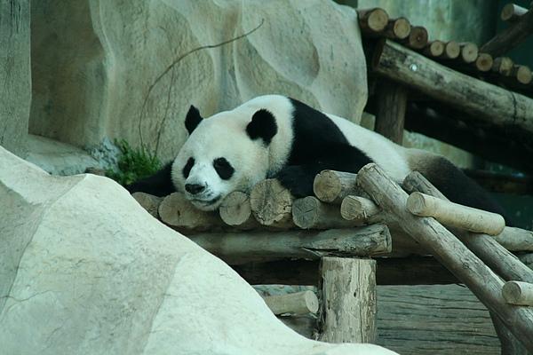 貓熊慵懶地趴著,樣子很可愛