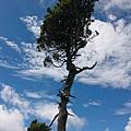 071_MG_1710_C_路邊造型特殊的樹.JPG