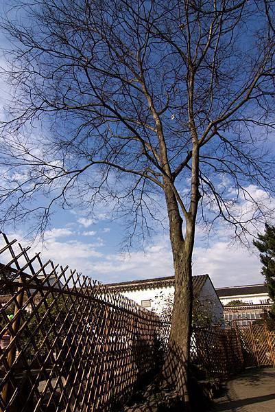 005_MG_3478_C_蘇州拙政園有很多美麗的樹.JPG