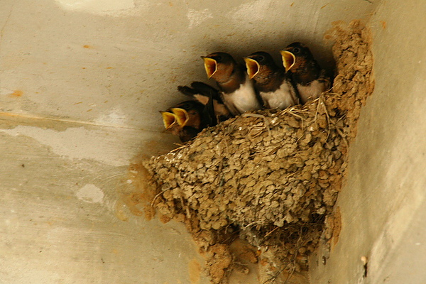 027_IMG_7306_C_北竿塘歧,馬祖屋角常見燕窩,清晨家家戶戶幼鳥等待母鳥餵食,加上母鳥忙碌奔波,形成一幅難得景象2.JPG