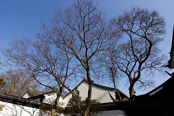 001_MG_3400_C_蘇州拙政園美麗的樹.JPG