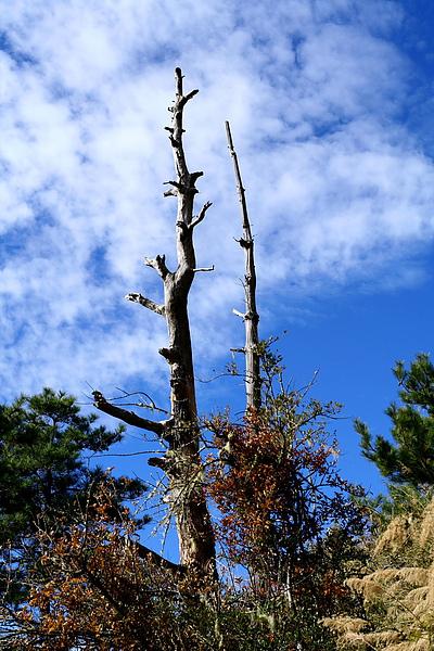 044_IMG_6751_C_下山的路上,有不少美麗的枯木,夫妻樹.JPG