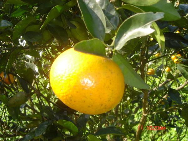 黃澄澄的橘子