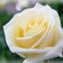 玫瑰色-1.jpg