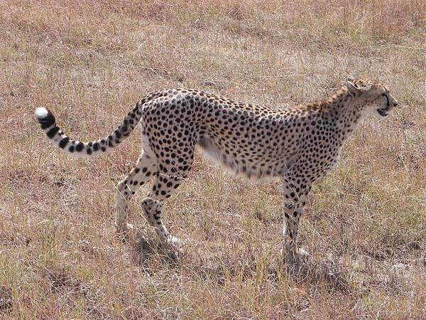 Cheetah (1).JPG