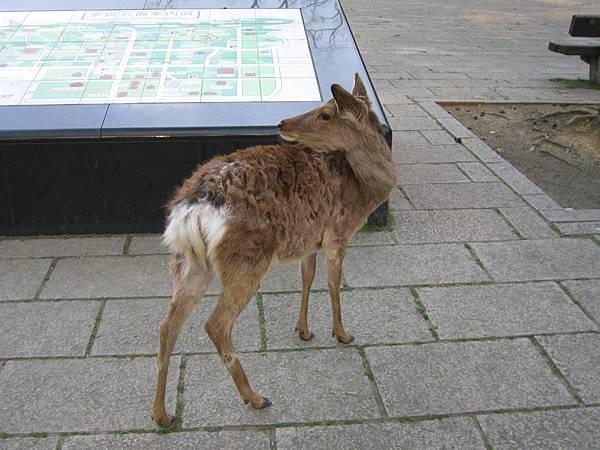 奈良公園 (5).JPG