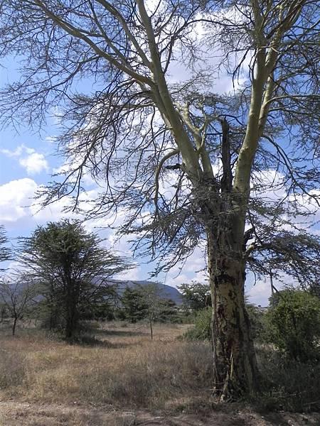 Acacia (8).JPG