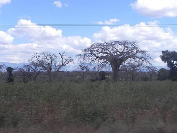Baobab (3).JPG
