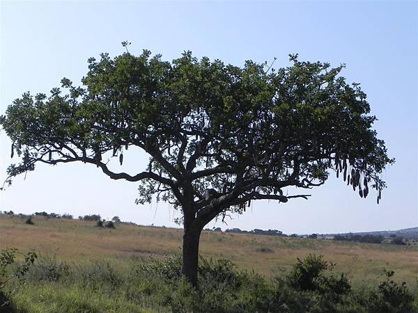 Sausage Tree (1).JPG