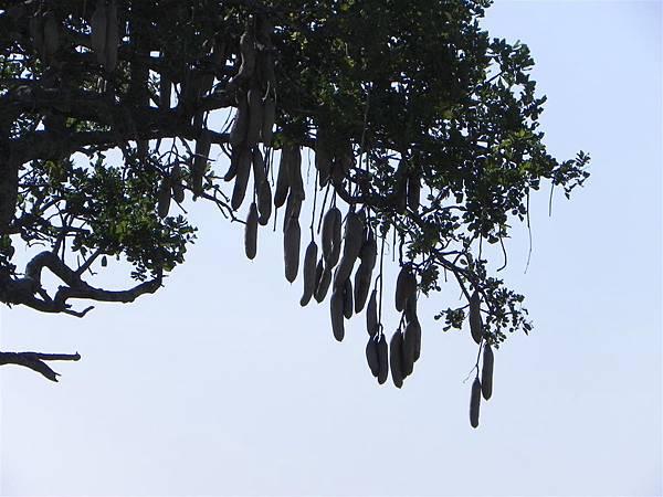 Sausage Tree (3).JPG
