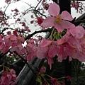 河津櫻 (6)